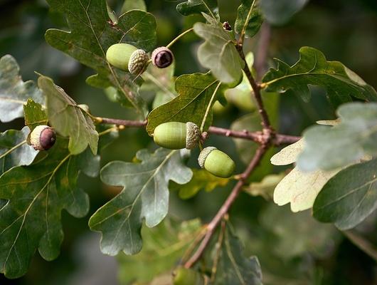 Кконцу года вБелгородской области высадят две тысячи гектаров дубов