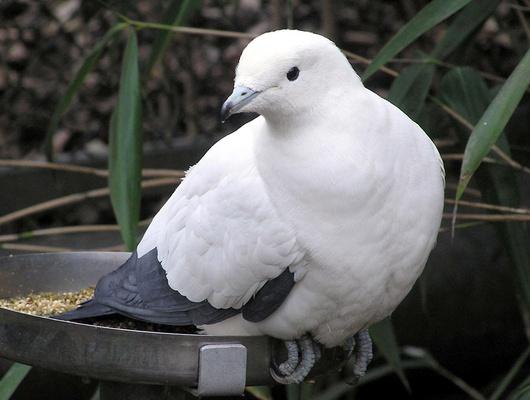 Житель Харькова пытался ввезти вБелгородскую область 20 почтовых голубей