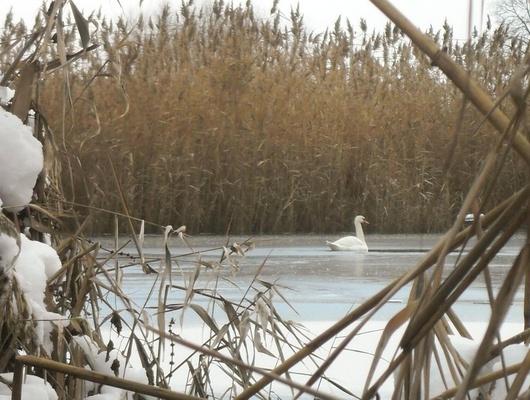 ВВолоконовском районе сзамерзающего пруда спасают лебедя