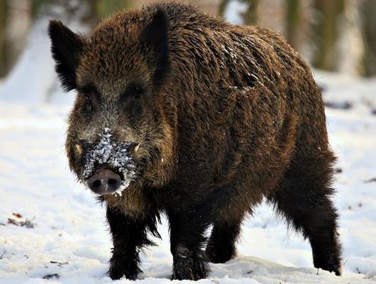 ВБелгородской области уничтожают диких кабанов